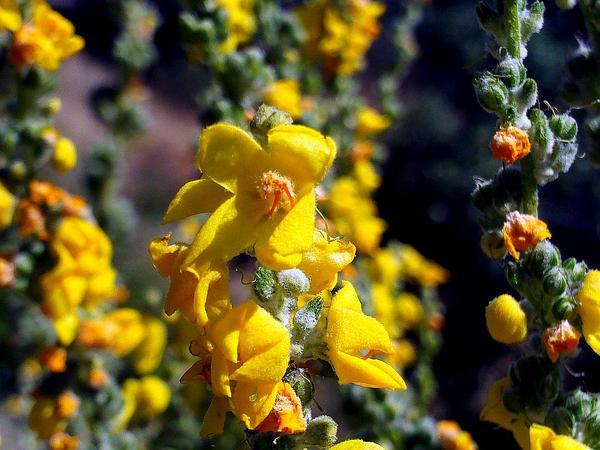 Broad-Leaf Mullein (Verbascum Pulverulentum) http://www.sagebud.com/broad-leaf-mullein-verbascum-pulverulentum