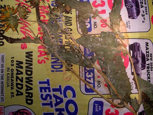 Crownbeard (Verbesina) http://www.sagebud.com/crownbeard-verbesina/