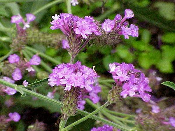 Tuberous Vervain (Verbena Rigida)