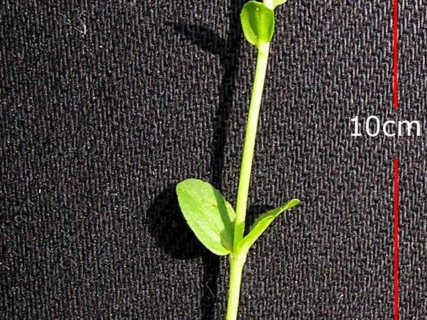 Thymeleaf Speedwell (Veronica Serpyllifolia) http://www.sagebud.com/thymeleaf-speedwell-veronica-serpyllifolia