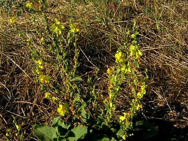 Wavyleaf Mullein (Verbascum Sinuatum) http://www.sagebud.com/wavyleaf-mullein-verbascum-sinuatum/