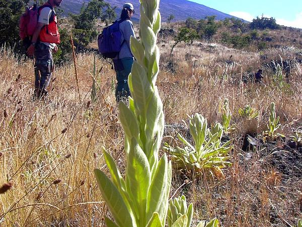 Common Mullein (Verbascum Thapsus) http://www.sagebud.com/common-mullein-verbascum-thapsus