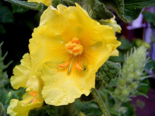 Common Mullein (Verbascum Thapsus) http://www.sagebud.com/common-mullein-verbascum-thapsus