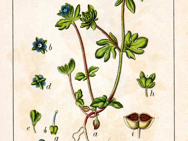 Finger Speedwell (Veronica Triphyllos) http://www.sagebud.com/finger-speedwell-veronica-triphyllos/