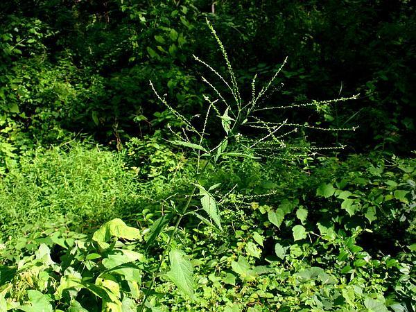 White Vervain (Verbena Urticifolia) http://www.sagebud.com/white-vervain-verbena-urticifolia/