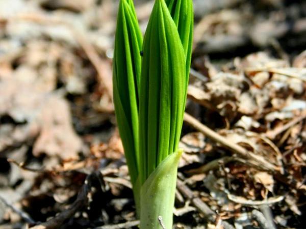 Green False Hellebore (Veratrum Viride) http://www.sagebud.com/green-false-hellebore-veratrum-viride