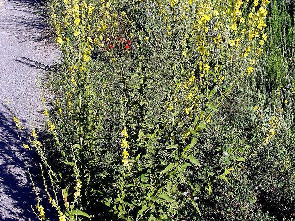 Wand Mullein (Verbascum Virgatum) http://www.sagebud.com/wand-mullein-verbascum-virgatum/