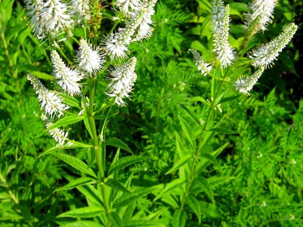 Culver's Root (Veronicastrum Virginicum) http://www.sagebud.com/culvers-root-veronicastrum-virginicum/