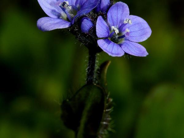 American Alpine Speedwell (Veronica Wormskjoldii) http://www.sagebud.com/american-alpine-speedwell-veronica-wormskjoldii