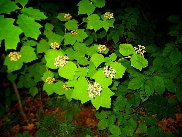 Mapleleaf Viburnum (Viburnum Acerifolium) http://www.sagebud.com/mapleleaf-viburnum-viburnum-acerifolium