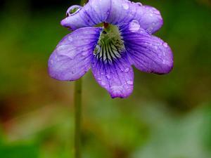 Hookedspur Violet