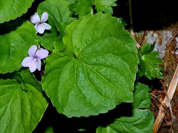 Hookedspur Violet (Viola Adunca) http://www.sagebud.com/hookedspur-violet-viola-adunca