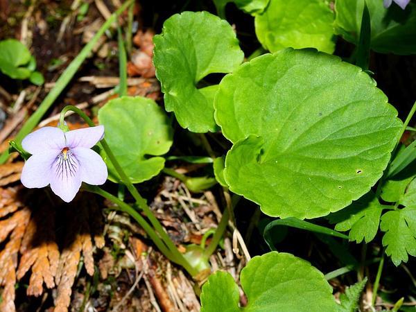 Hookedspur Violet (Viola Adunca) http://www.sagebud.com/hookedspur-violet-viola-adunca/