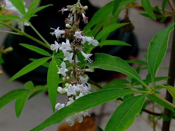 Lilac Chastetree (Vitex Agnus-Castus) http://www.sagebud.com/lilac-chastetree-vitex-agnus-castus