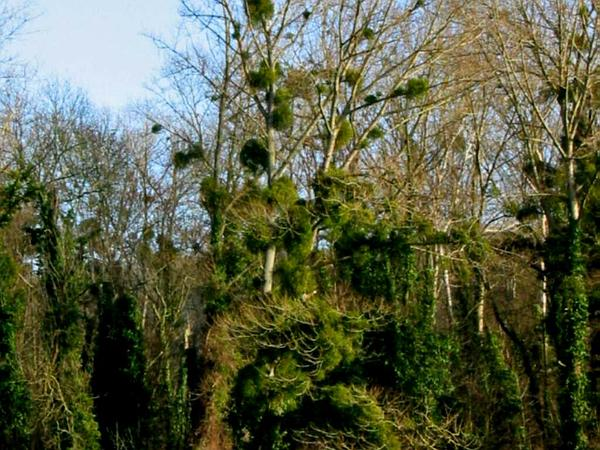 European Mistletoe (Viscum Album) http://www.sagebud.com/european-mistletoe-viscum-album