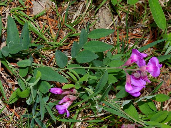 American Vetch (Vicia Americana) http://www.sagebud.com/american-vetch-vicia-americana