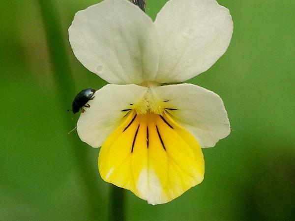 European Field Pansy (Viola Arvensis) http://www.sagebud.com/european-field-pansy-viola-arvensis