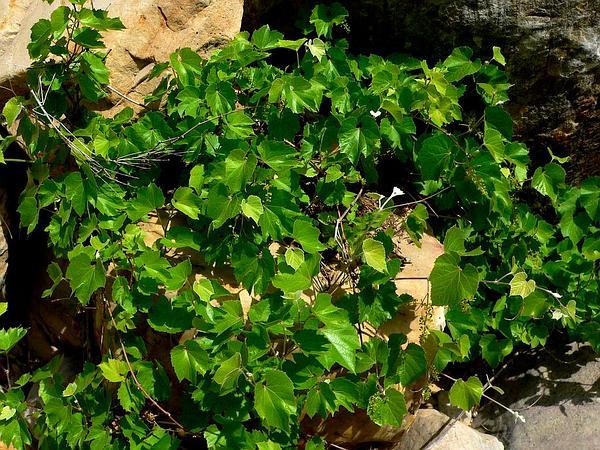 Canyon Grape (Vitis Arizonica) http://www.sagebud.com/canyon-grape-vitis-arizonica