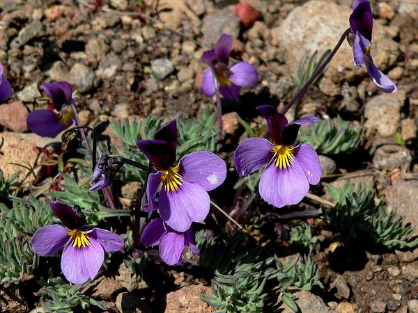 Beckwith's Violet (Viola Beckwithii) http://www.sagebud.com/beckwiths-violet-viola-beckwithii/