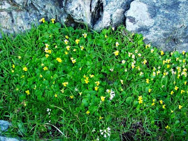 Arctic Yellow Violet (Viola Biflora) http://www.sagebud.com/arctic-yellow-violet-viola-biflora