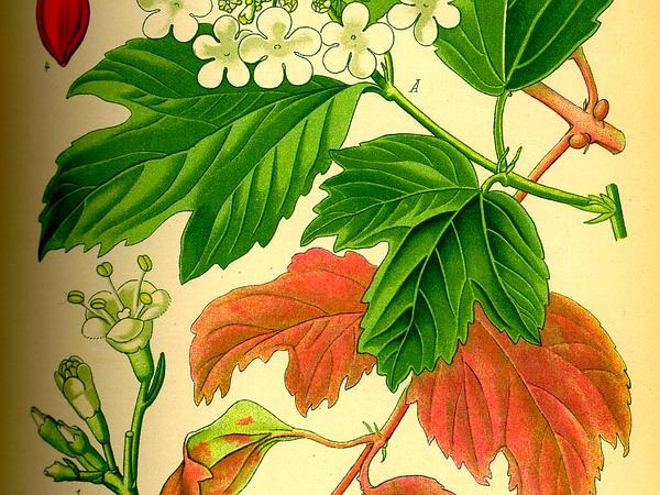 Viburnum (Viburnum) http://www.sagebud.com/viburnum-viburnum/