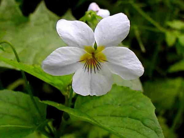 Canadian White Violet (Viola Canadensis) http://www.sagebud.com/canadian-white-violet-viola-canadensis
