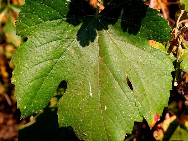California Wild Grape (Vitis Californica) http://www.sagebud.com/california-wild-grape-vitis-californica/