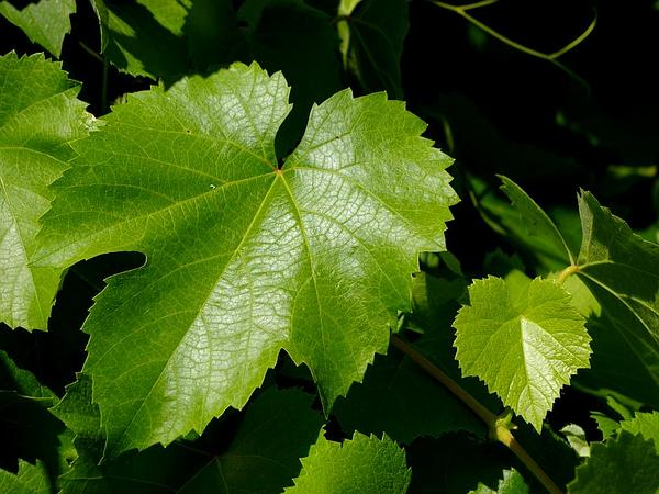 California Wild Grape (Vitis Californica) http://www.sagebud.com/california-wild-grape-vitis-californica