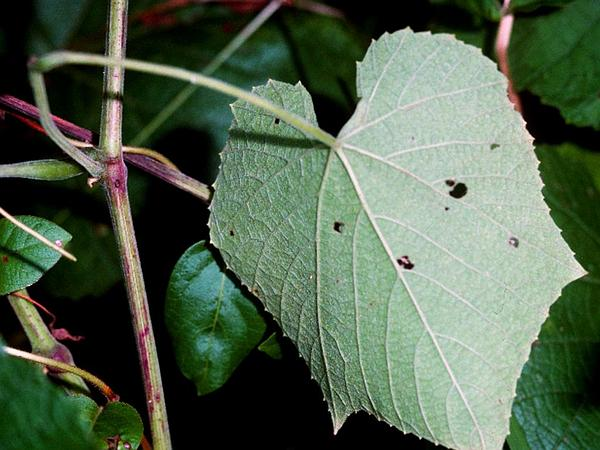 Graybark Grape (Vitis Cinerea) http://www.sagebud.com/graybark-grape-vitis-cinerea