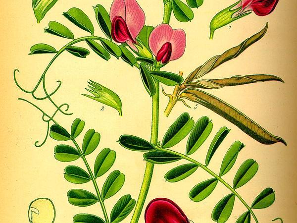 Vetch (Vicia) http://www.sagebud.com/vetch-vicia