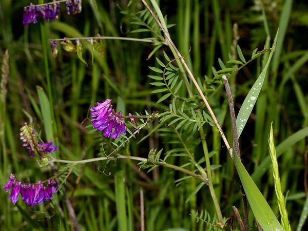 Bird Vetch (Vicia Cracca) http://www.sagebud.com/bird-vetch-vicia-cracca