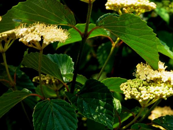 Southern Arrowwood (Viburnum Dentatum) http://www.sagebud.com/southern-arrowwood-viburnum-dentatum