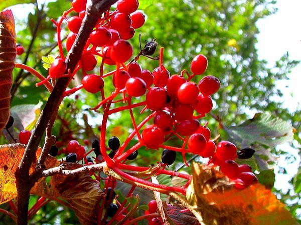 Linden Arrowwood (Viburnum Dilatatum) http://www.sagebud.com/linden-arrowwood-viburnum-dilatatum