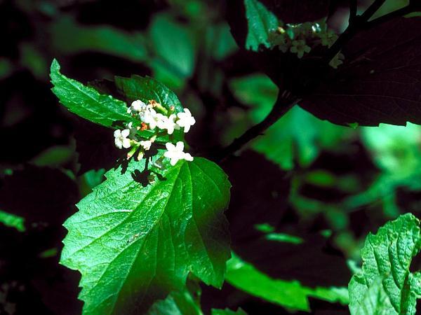 Squashberry (Viburnum Edule) http://www.sagebud.com/squashberry-viburnum-edule/