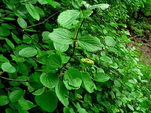 Common Viburnum