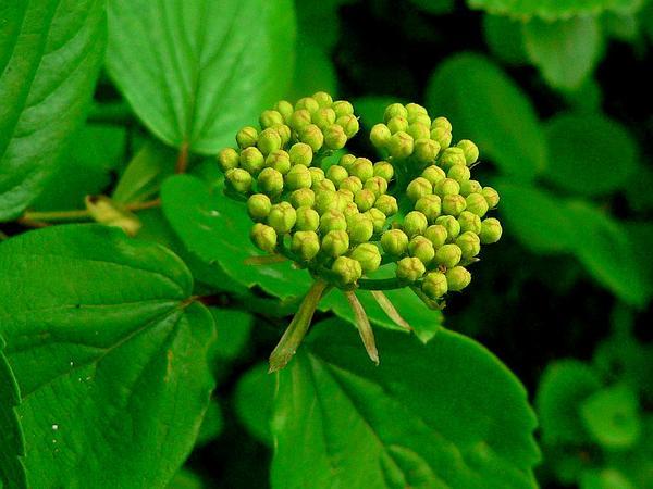 Common Viburnum (Viburnum Ellipticum) http://www.sagebud.com/common-viburnum-viburnum-ellipticum