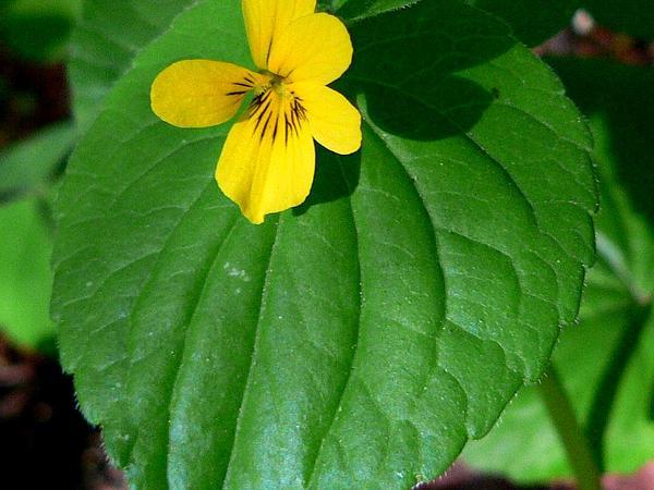 Pioneer Violet (Viola Glabella) http://www.sagebud.com/pioneer-violet-viola-glabella/