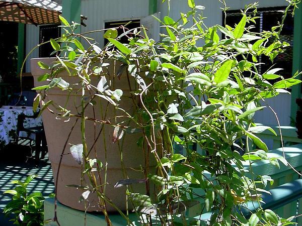 Cowpea (Vigna) http://www.sagebud.com/cowpea-vigna/
