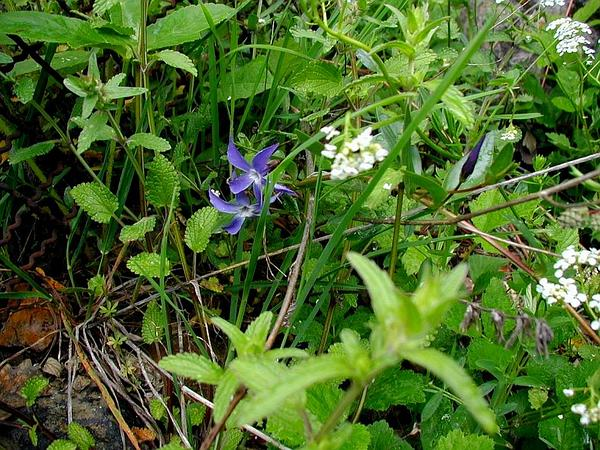 Herbaceous Periwinkle (Vinca Herbacea) http://www.sagebud.com/herbaceous-periwinkle-vinca-herbacea/