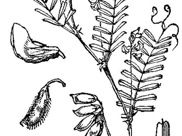 Tiny Vetch (Vicia Hirsuta) http://www.sagebud.com/tiny-vetch-vicia-hirsuta