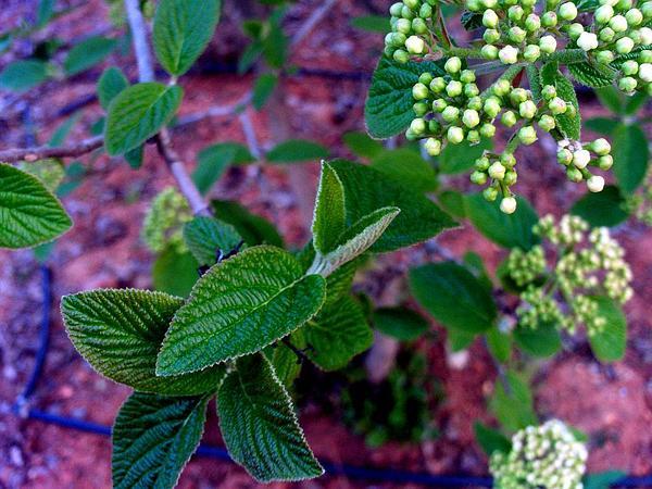 Wayfaringtree (Viburnum Lantana) http://www.sagebud.com/wayfaringtree-viburnum-lantana/