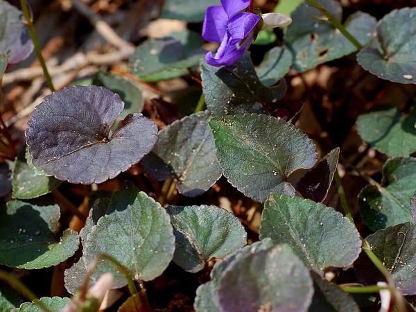 Alpine Violet (Viola Labradorica) http://www.sagebud.com/alpine-violet-viola-labradorica