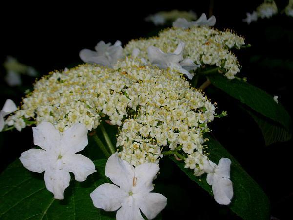 Hobblebush (Viburnum Lantanoides) http://www.sagebud.com/hobblebush-viburnum-lantanoides