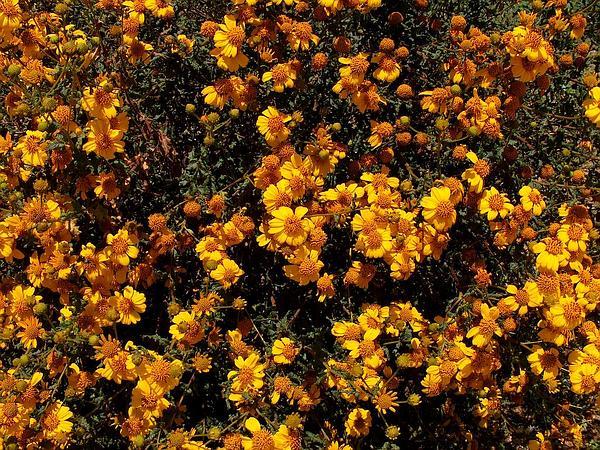 Torhleaf Goldeneye (Viguiera Laciniata) http://www.sagebud.com/torhleaf-goldeneye-viguiera-laciniata/