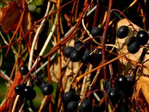 VILA8/Vitis-labrusca-berries_300.JPG