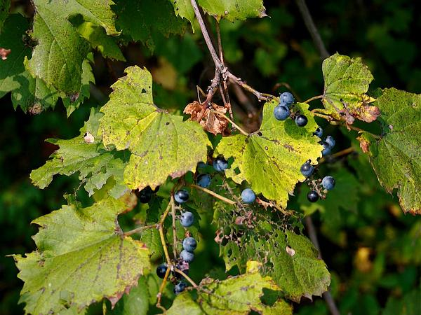 Fox Grape (Vitis Labrusca) http://www.sagebud.com/fox-grape-vitis-labrusca/