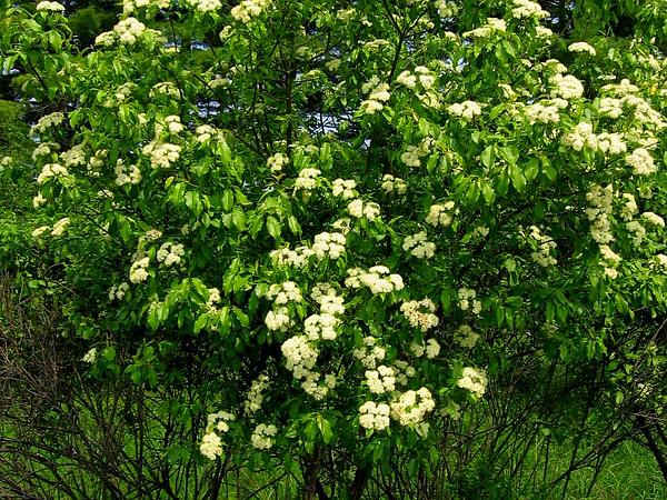 Nannyberry (Viburnum Lentago) http://www.sagebud.com/nannyberry-viburnum-lentago