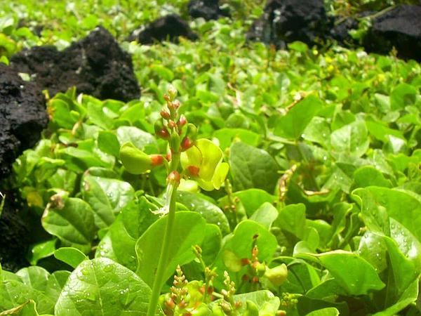 Notched Cowpea (Vigna Marina) http://www.sagebud.com/notched-cowpea-vigna-marina/
