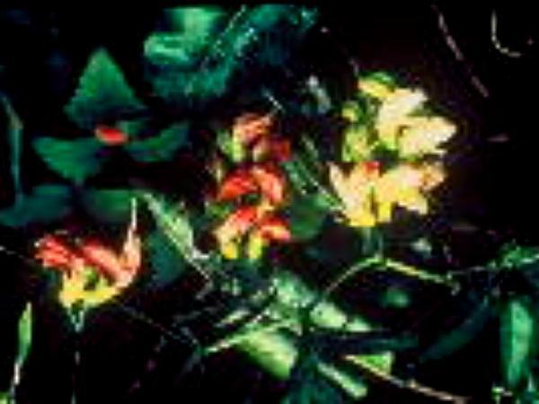 Hawai'I Vetch (Vicia Menziesii) http://www.sagebud.com/hawaii-vetch-vicia-menziesii