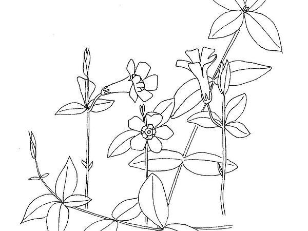 Common Periwinkle (Vinca Minor) http://www.sagebud.com/common-periwinkle-vinca-minor/